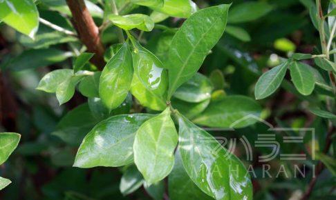 ヘナの植物の写真