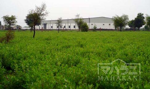 ヘナ畑の中のヘナ工場